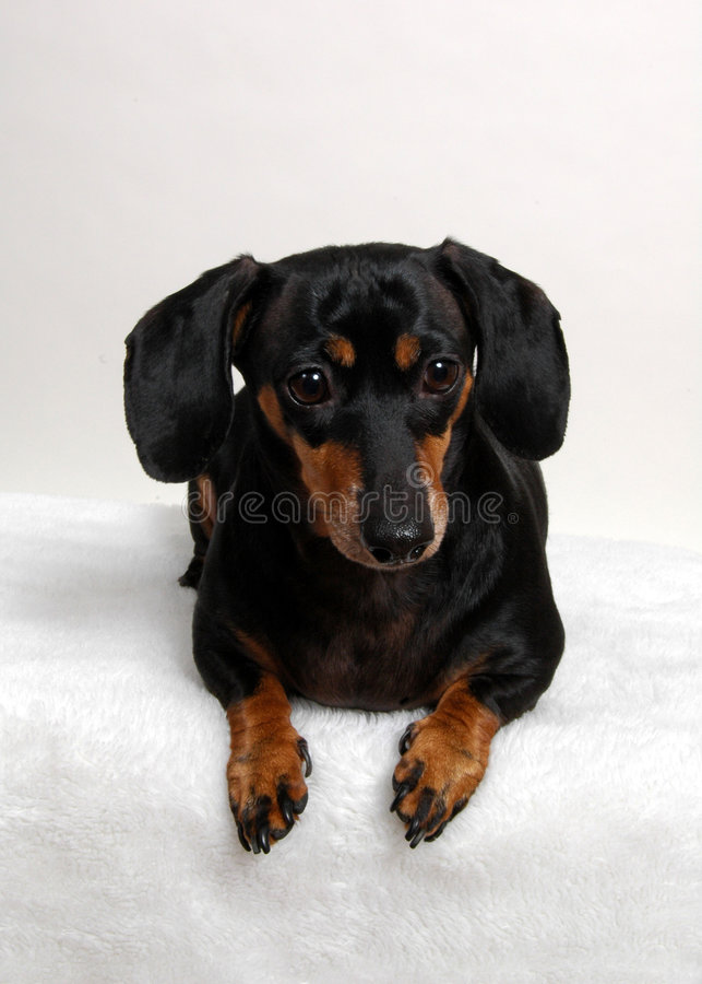 Retrato de um dachshund.   fotos de stock
