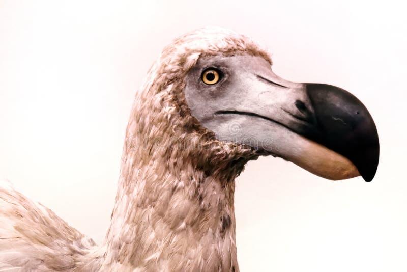Retrato de um dodó fotos de stock royalty free