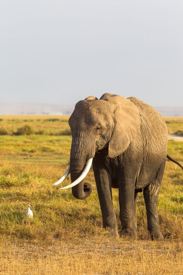 Retrato de um elefante em um fundo do savana Amboseli Kenya, África imagem de stock