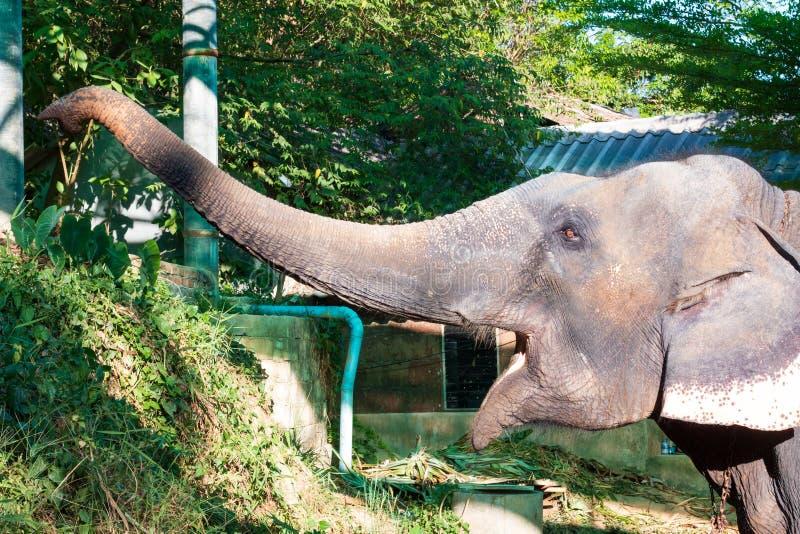 Retrato de um elefante em Tailândia que estica a corda fotos de stock royalty free