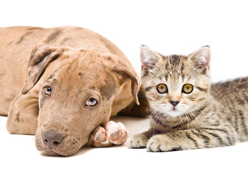 Retrato de um encontro reto escocês do cachorrinho e do gatinho do pitbull junto foto de stock royalty free
