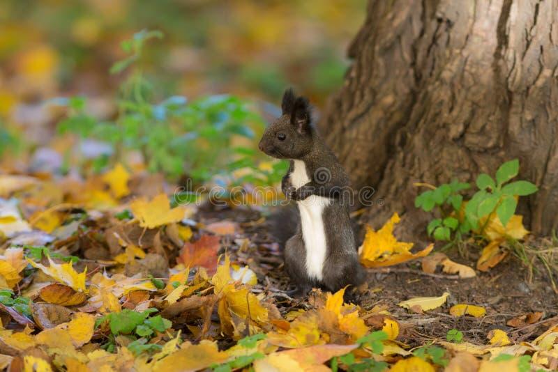 Retrato de um esquilo curioso imagens de stock royalty free