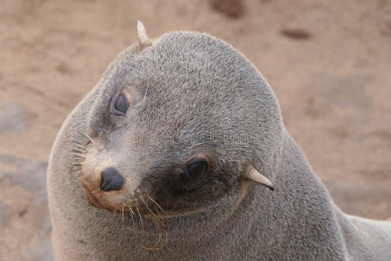 Retrato de um filhote triste do lobo-marinho, cruz do cabo, Namíbia foto de stock