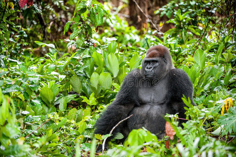 Retrato de um fim do gorila de planície ocidental (gorila do gorila do gorila) acima em uma distância curto Silverback - macho ad imagens de stock royalty free