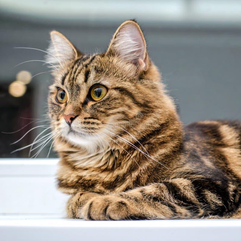 Retrato de um fim listrado cinzento bonito do gato acima fotos de stock