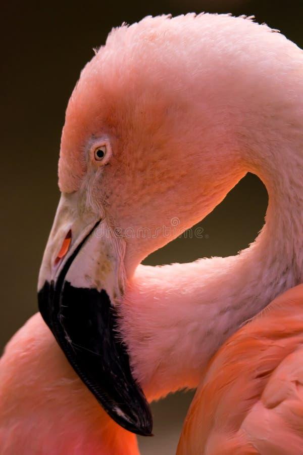 Retrato de um flamingo chileno fotos de stock royalty free