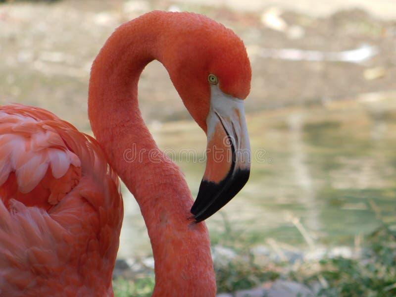 Retrato de um flamingo cor-de-rosa brilhante imagens de stock