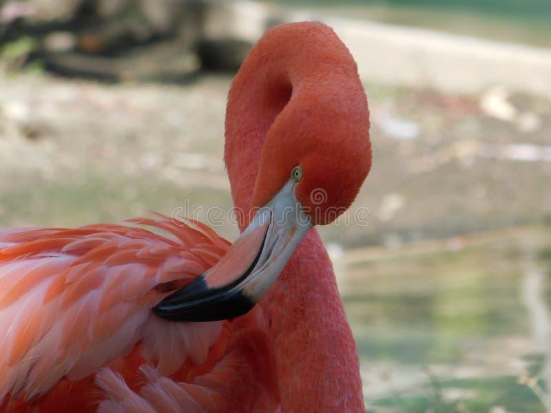 Retrato de um flamingo cor-de-rosa brilhante fotos de stock royalty free