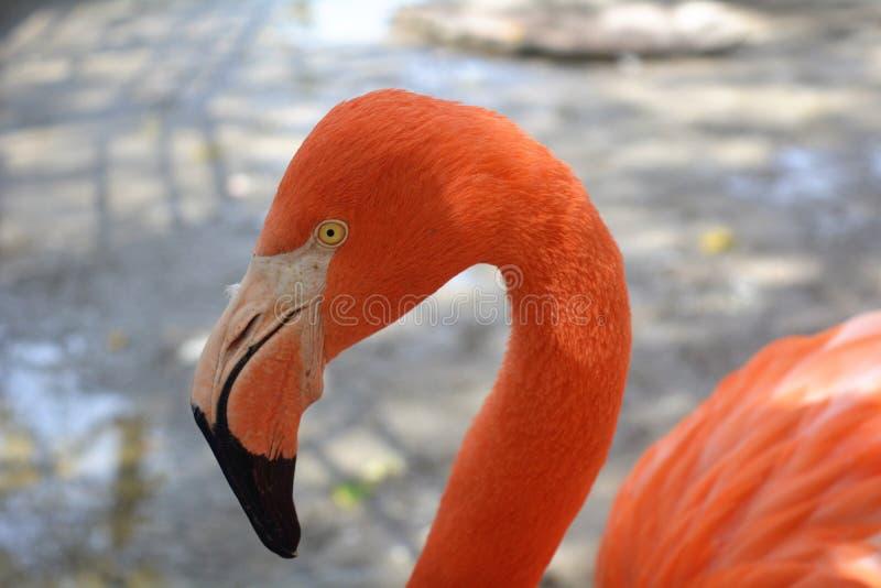 Retrato de um flamingo no jardim zoológico de Puebla fotografia de stock royalty free