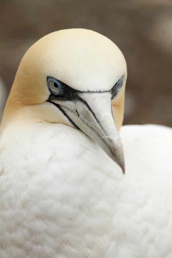 Retrato de um gannet do norte fotos de stock