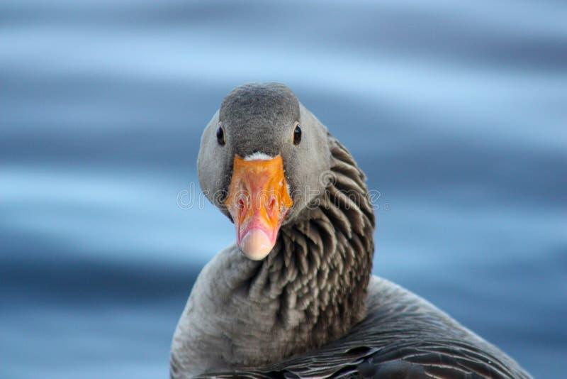 Retrato de um ganso de pato bravo europeu (Anser do Anser) fotografia de stock royalty free