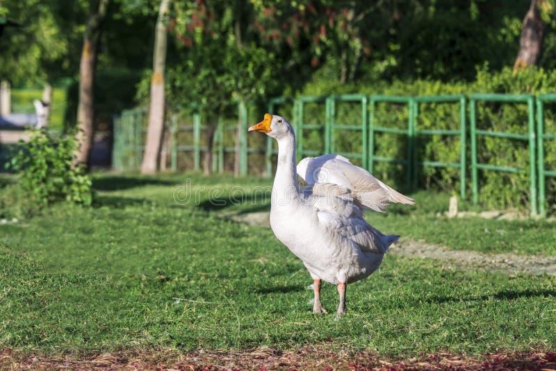Retrato de um ganso selvagem branco em um parque que espalha suas asas fotos de stock royalty free