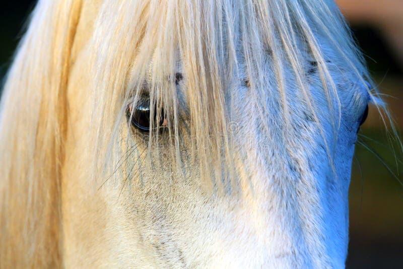 Retrato de um garanhão árabe cinzento do puro-sangue Close up de um cavalo novo do puro-sangue Cavalo árabe do shagya novo do pur fotografia de stock royalty free