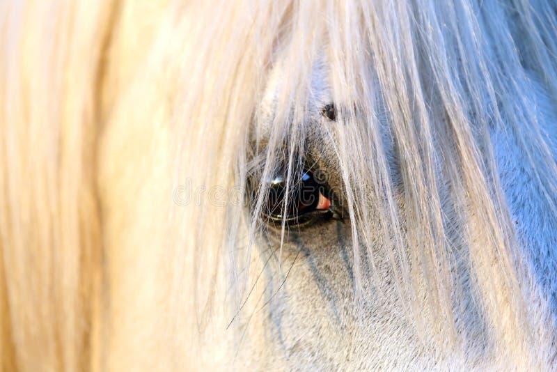 Retrato de um garanhão árabe cinzento do puro-sangue Close up de um cavalo novo do puro-sangue Cavalo árabe do shagya novo do pur imagem de stock