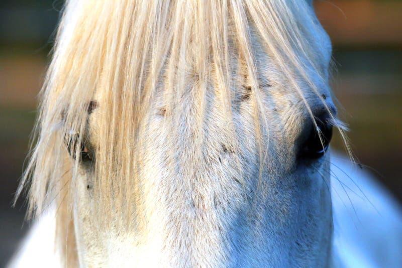 Retrato de um garanhão árabe cinzento do puro-sangue Close up de um cavalo novo do puro-sangue Cavalo árabe do shagya novo do pur imagem de stock royalty free
