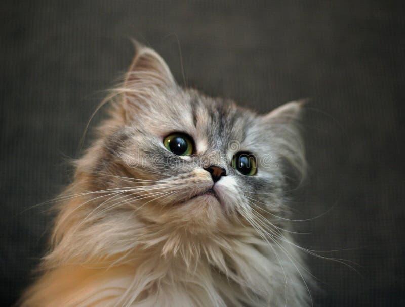 Retrato de um gatinho imagens de stock royalty free