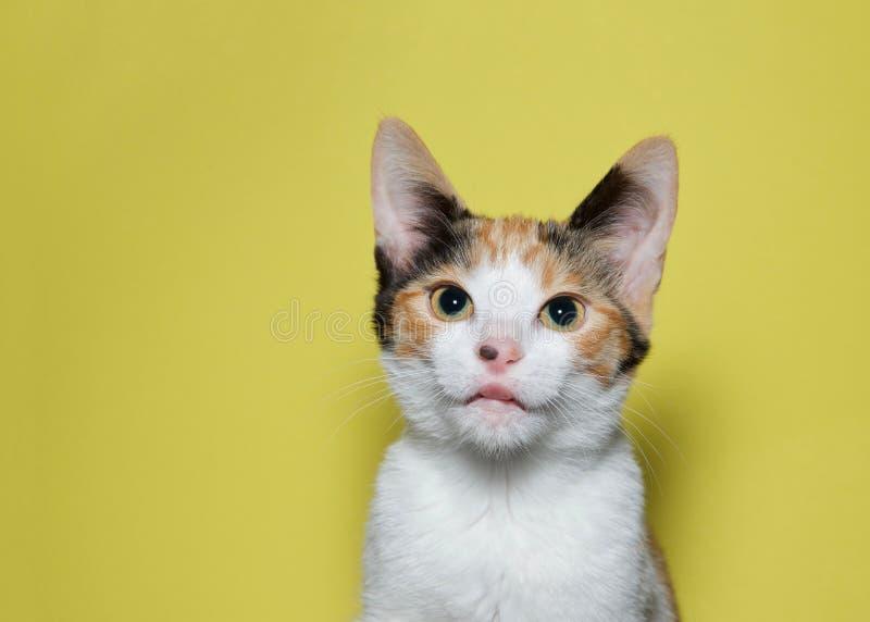 Retrato de um gatinho bonito da chita que cola a língua para fora imagens de stock royalty free