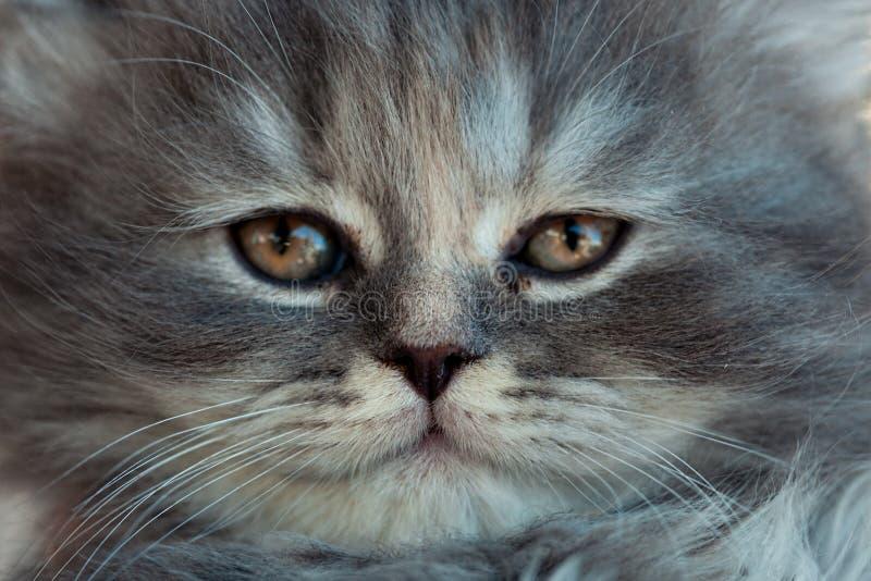 Retrato de um gatinho cinzento fotografia de stock