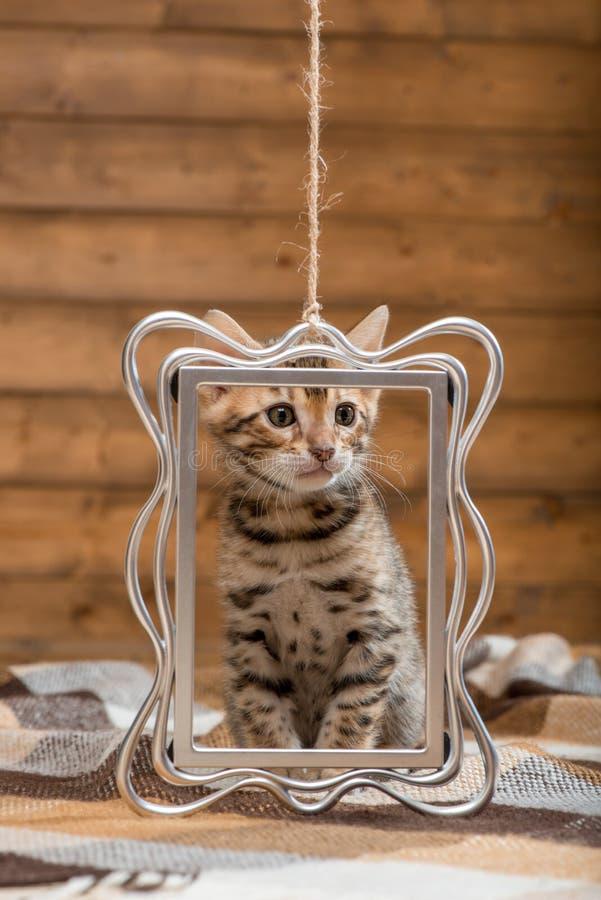 retrato de um gatinho da ra?a de Bengal fotos de stock