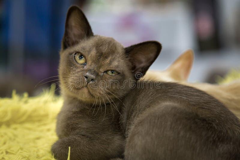 Retrato de um gato de birmanês europeu em um fundo macio Foco seletivo imagem de stock royalty free