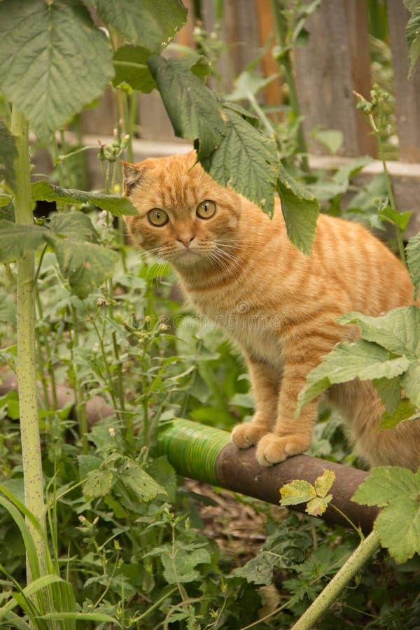 Retrato de um gato bonito do gengibre que descansa sob um arbusto no g imagens de stock
