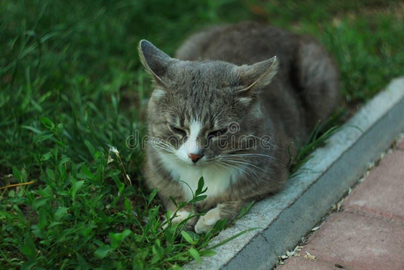 Retrato de um gato branco cinzento que encontra-se na grama verde fotografia de stock