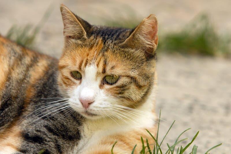 Retrato de um gato de chita que encontra-se sob o sol e que olha fixamente em algo fotografia de stock royalty free