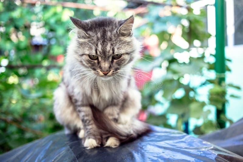 Retrato de um gato cinzento bonito com olhos verdes foto de stock royalty free