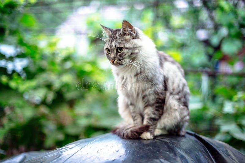 Retrato de um gato cinzento bonito com olhos verdes imagens de stock royalty free