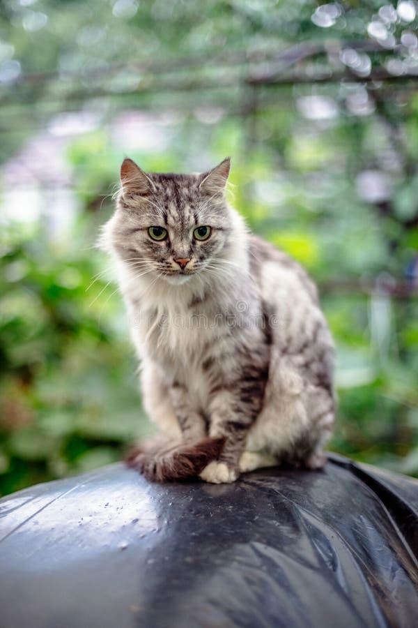 Retrato de um gato cinzento bonito com olhos verdes imagens de stock