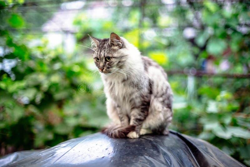 Retrato de um gato cinzento bonito com olhos verdes fotos de stock