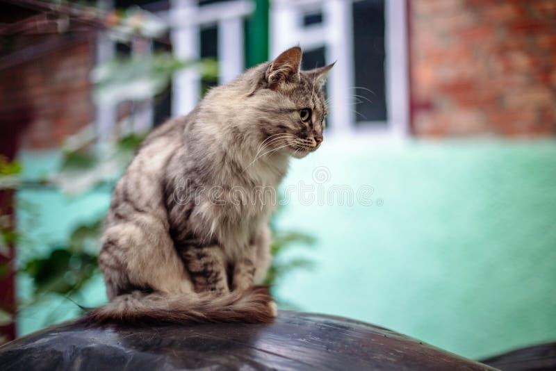 Retrato de um gato cinzento bonito com olhos verdes fotografia de stock royalty free