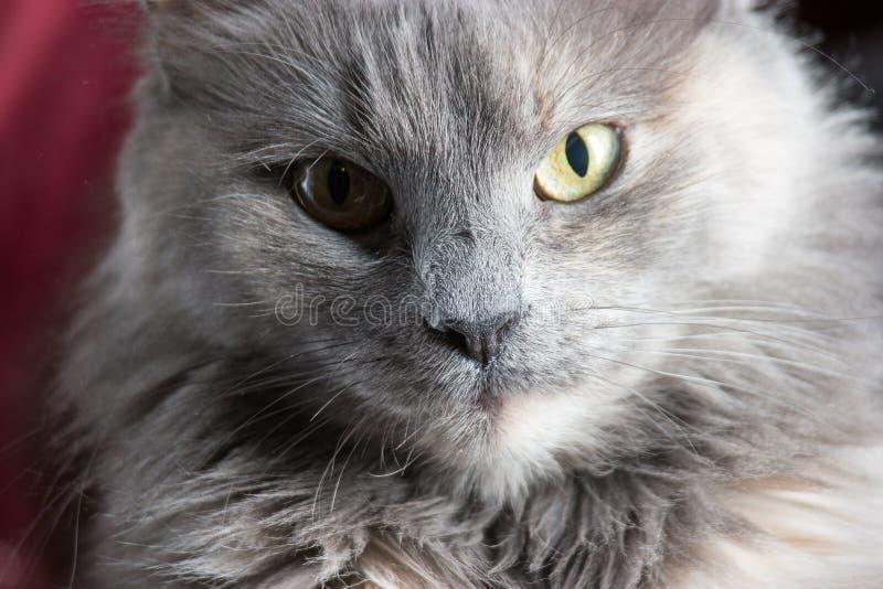 Retrato de um gato cinzento em uma opinião dianteira do fundo vermelho imagens de stock royalty free