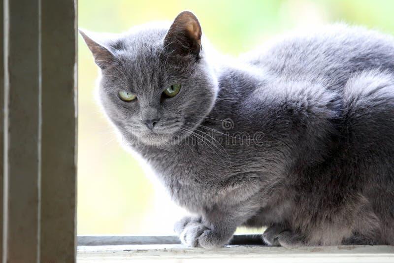 Retrato de um gato cinzento perto da janela foto de stock