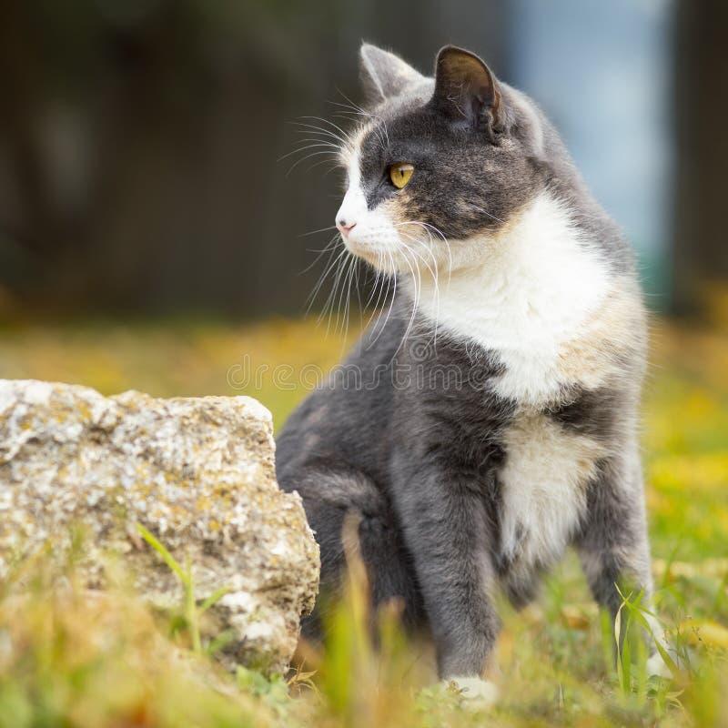 Retrato de um gato cinzento que senta-se na grama, um animal de estimação que anda na natureza fotos de stock royalty free