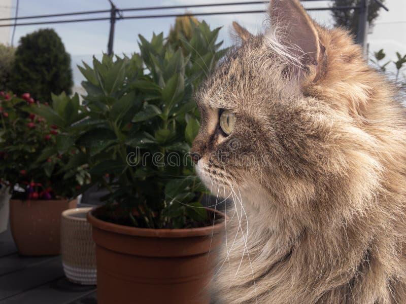 Retrato de um gato de Coon de Maine fotografia de stock royalty free