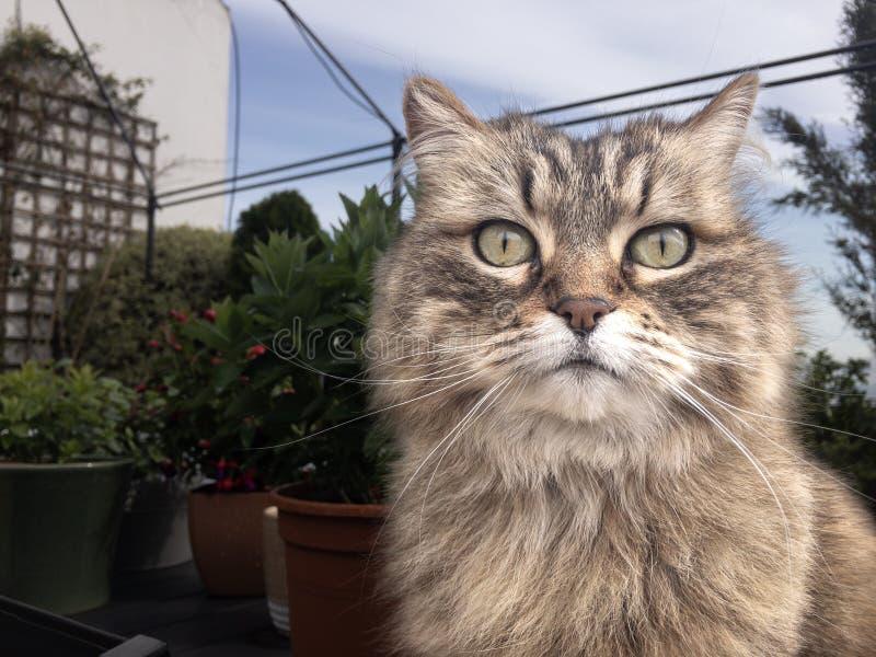 Retrato de um gato de Coon de Maine imagem de stock