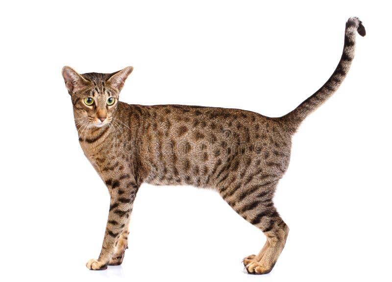 Retrato de um gato do ocicat em um fundo branco fotos de stock