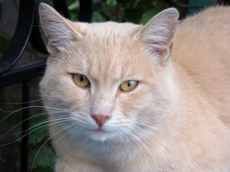 Retrato de um gato do pêssego foto de stock royalty free