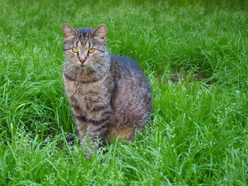 Retrato de um gato listrado cinzento que senta-se no fim da grama verde acima imagem de stock