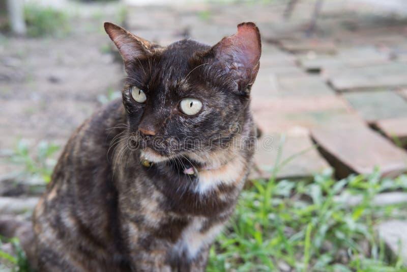 Retrato de um gato marrom feroz que senta-se na terra e no olhar no som foto de stock