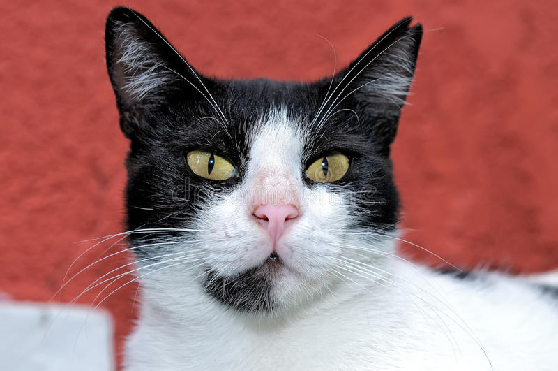 Retrato de um gato preto e branco fotos de stock royalty free