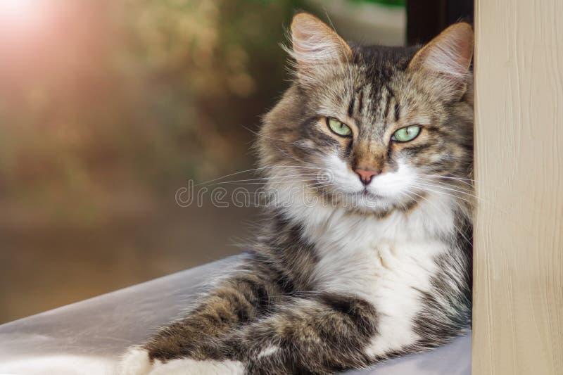 Retrato de um gato tr?s-colorido bonito com olhos verdes A foto do ver?o, um gato encontra-se e olha-se na cara Rolamento orgulho fotos de stock