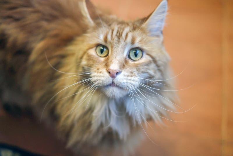 Retrato de um gato, de uma grande raça bonita e expressivo Maine Coon do gato olhares como um gato de lingüeta com as borlas nas  fotos de stock royalty free
