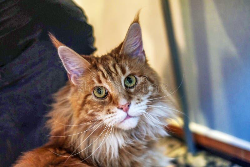 Retrato de um gato, de uma grande raça bonita e expressivo Maine Coon do gato olhares como um gato de lingüeta com as borlas nas  imagens de stock royalty free