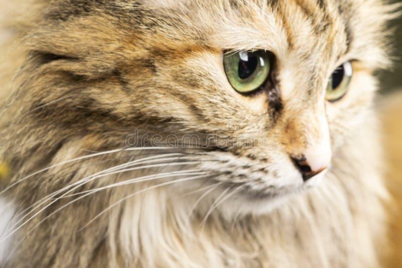 Retrato de um gato vermelho Um minuto do silêncio foto de stock