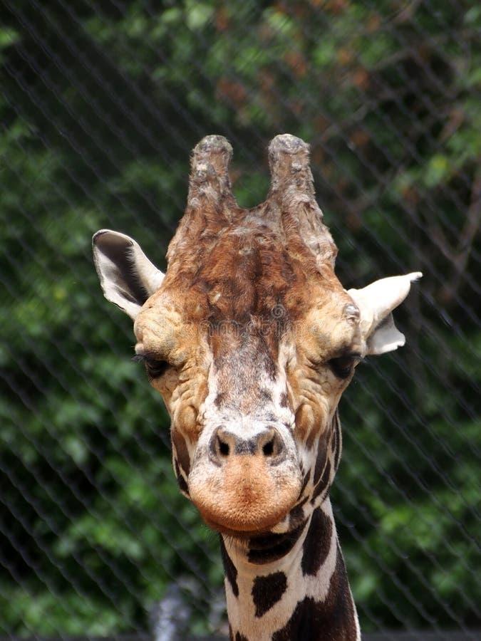 Retrato de um girafa africano, close-up imagens de stock