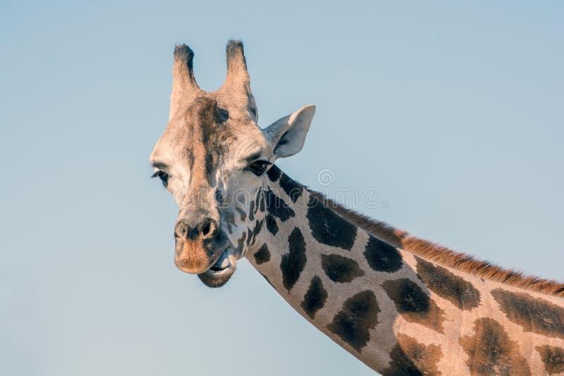 Retrato de um Giraffe africano Pesco?o principal e longo Animal selvagem fotos de stock