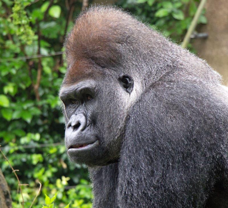 Retrato de um gorila do Silverback imagens de stock royalty free