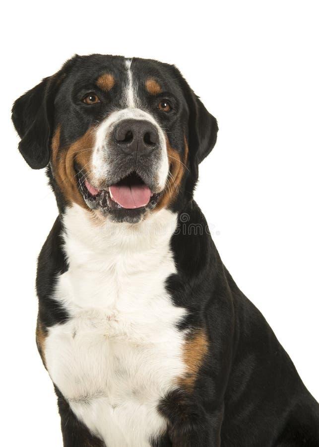Retrato de um grande cão suíço da montanha em um fundo branco foto de stock
